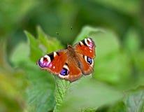 Farfalla del pavone sul foglio Immagine Stock Libera da Diritti