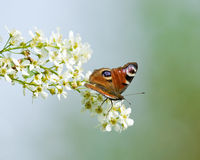 Farfalla del pavone sulla ciliegia di uccello Fotografie Stock