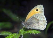 Farfalla del portiere Fotografie Stock Libere da Diritti