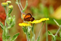 Farfalla del portiere, Pyronia Tithonus, fine su fotografia stock