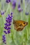 Farfalla del portiere sul Lavandula Fotografia Stock