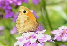Farfalla del portiere (tithonus di Pyronia) Fotografia Stock