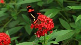 Farfalla del postino archivi video