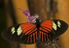 Farfalla del postino Immagine Stock