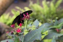 Farfalla del postino fotografie stock libere da diritti