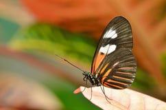 Farfalla del postino Fotografie Stock