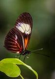 Farfalla del postino Fotografia Stock Libera da Diritti