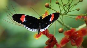 Farfalla del postino Fotografia Stock
