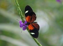 Farfalla del postino Immagini Stock Libere da Diritti
