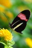 Farfalla del postino, aka, melpomene di Heliconius fotografia stock