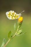 Farfalla del primo piano sul fiore Fotografia Stock Libera da Diritti