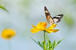Farfalla del primo piano sul fiore giallo Fotografie Stock Libere da Diritti