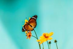 Farfalla del primo piano sul fiore & su x28; Butterfly& comune x29 della tigre; Fotografia Stock