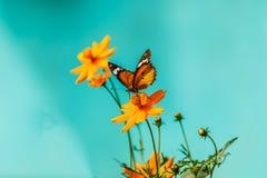 Farfalla del primo piano sul fiore & su x28; Butterfly& comune x29 della tigre; Immagine Stock Libera da Diritti