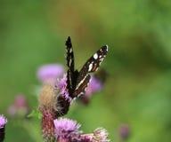 Farfalla del programma Immagini Stock