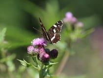 Farfalla del programma Fotografie Stock