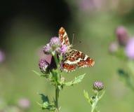 Farfalla del programma Immagine Stock