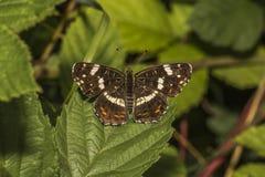 Farfalla del programma (levana di Araschnia) Immagine Stock Libera da Diritti