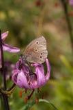 Farfalla del riccio Immagine Stock