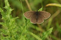 Farfalla del riccio Fotografia Stock Libera da Diritti