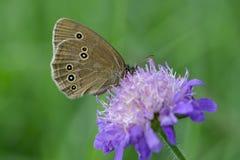 Farfalla del riccio del terreno boscoso su un fiore della vedova fotografia stock