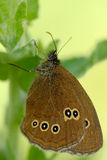 Farfalla del Ringlet fotografie stock