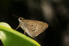 Farfalla del Ringlet immagine stock