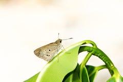 Farfalla del Ringlet fotografie stock libere da diritti