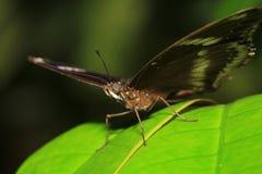 Farfalla del sergente di Blackvein (ranga di Athyma) Immagini Stock Libere da Diritti