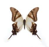 Farfalla del serville di Eurytides Fotografia Stock Libera da Diritti