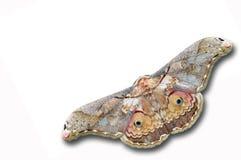 Farfalla del silkmoth di Thibet Immagini Stock