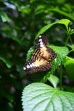 Farfalla del tagliatore Immagine Stock Libera da Diritti