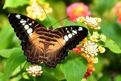 Farfalla del tagliatore del Brown immagini stock libere da diritti