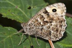 Farfalla del temolo (semele di Hipparchia) Immagine Stock