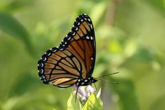 Farfalla del viceré fotografia stock