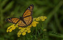 Farfalla del viceré Immagini Stock Libere da Diritti