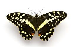 Farfalla dell'agrume (centro) Immagini Stock