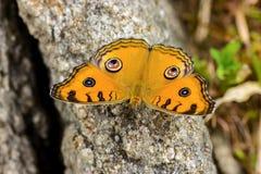Farfalla dell'almanacco di Junonia Fotografie Stock
