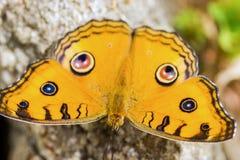 Farfalla dell'almanacco di Junonia Fotografia Stock