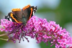 Farfalla dell'ammiraglio rosso (atalanta di Vanessa) Fotografia Stock