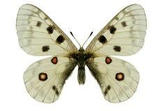 Farfalla dell'Apollo Fotografia Stock Libera da Diritti