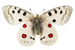 Farfalla dell'Apollo (Parnassius Apollo) Fotografia Stock Libera da Diritti