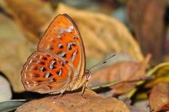 farfalla dell'arancio di bellezza Fotografia Stock