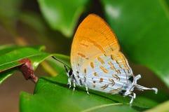 Farfalla dell'arancio di bellezza Immagini Stock Libere da Diritti