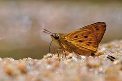 Farfalla dell'asso di Masonâs Fotografia Stock