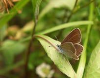 Farfalla dell'azzurro di Mazarine Fotografie Stock
