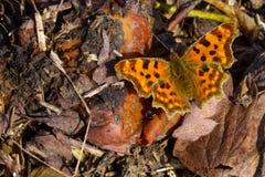 Farfalla dell'c-album di Polygonia Fotografie Stock Libere da Diritti