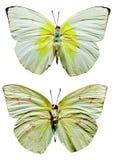 Farfalla dell'emigrante del limone Fotografie Stock