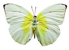 Farfalla dell'emigrante del limone Fotografia Stock