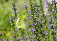 Farfalla dell'erba medica Fotografia Stock
